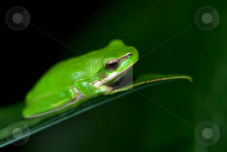 Little fallax frog stock photo, A small dwarf green tree frog sits on a leaf by Phil Morley