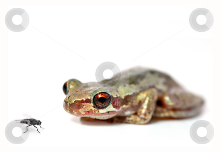 Crouching frog and fly stock photo, A red eyed bleating tree frog (litoria dentata) crouchs and looks at a fly on a white background by Phil Morley