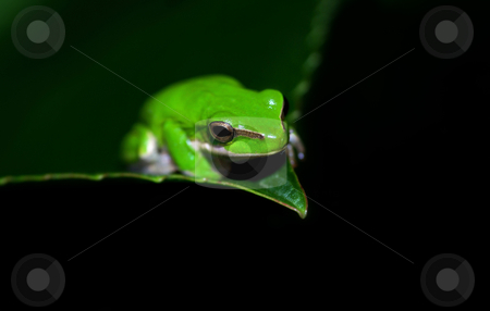 Green tree frog stock photo, Great image of a dwarf green tree frog litoria fallax on a leaf by Phil Morley
