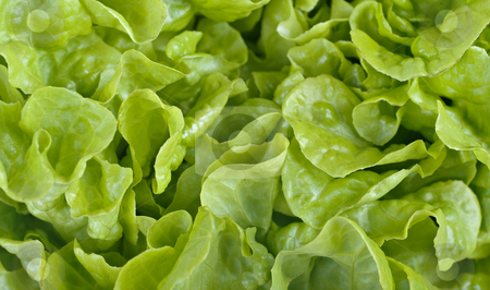 Lettuce background stock photo, Great image of lovely fresh lettuce for salad background by Phil Morley