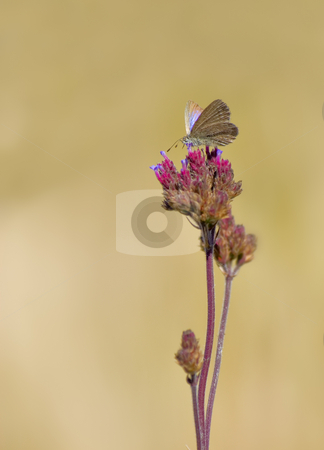 Butterfly on flower stock photo, a small butterfly or moth  on a flower by Phil Morley