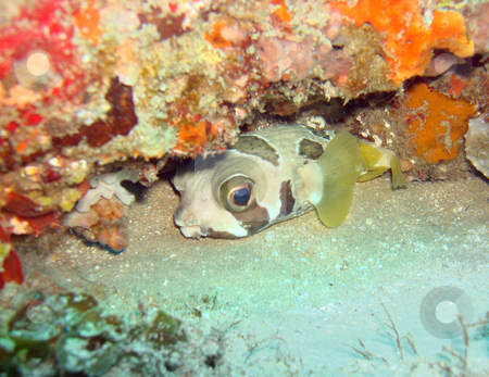 Boxed In stock photo, Box/Puffer Fish hiding in a coral reef in Mozambique by Chris Alleaume
