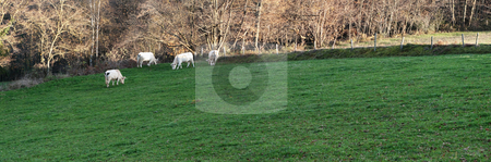 Group of cows stock photo, Panoramic image of a group of cows in a green pasture by Laurent Dambies