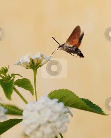 Hummingbird moth stock photo, Hummingbird moth taking up nectar in a white flower by Laurent Dambies