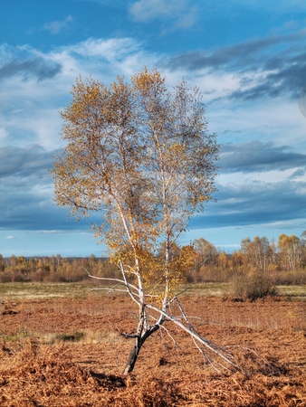 Birch tree stock photo, Isolated birch tree in a fern field under blue sky and clouds by Laurent Dambies