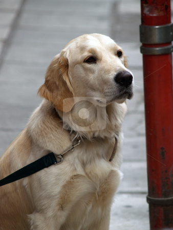 Dog stock photo, Labrador by Portokalis
