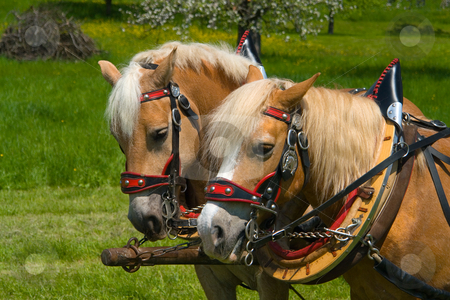 Horses to cart stock photo, Pferde an Fuhrwerk - Horses to cart by Wolfgang Heidasch