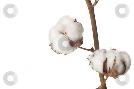 Cotton bolls on white background stock photo, Cotton bolls on white background by Nenad Curcic