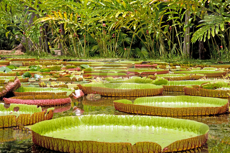 Giant water lily. stock photo, Close up of giant water lily in Mauritius. by Gowtum Bachoo