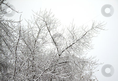 Snow on branches stock photo, Snowy white branches, with brown leaves by Fabio Alcini