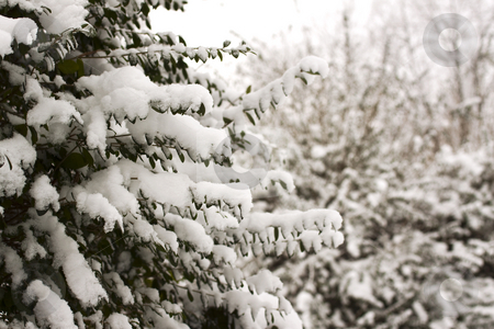 Snow on branches stock photo, Snowy white branches, with brown leafs by Fabio Alcini