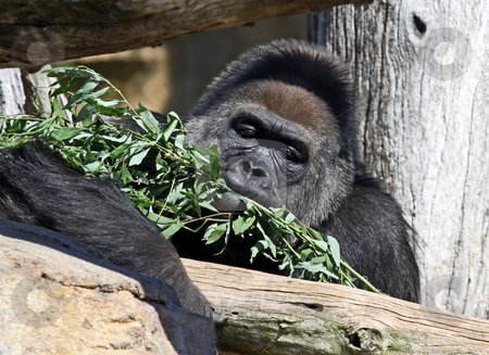 Gorilla eating food stock photo, Closeup of adult male gorilla eating branches in tree. by Martin Crowdy