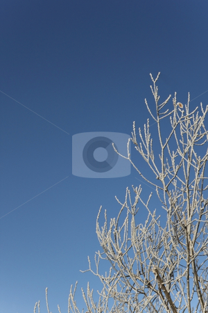 Frosted twigs stock photo, Ice crystals on oak twigs agajnst a bright blue winter sky by Mike Smith