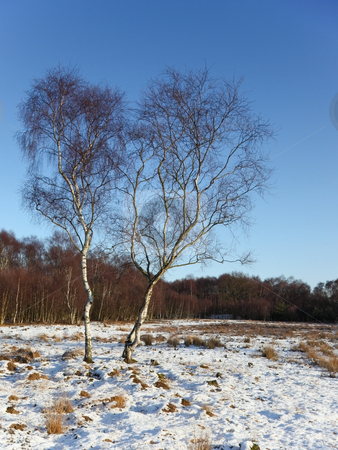Winter birch trees stock photo, Two silver birch trees in the snow aganst a backdrop of woods and a clear blue sky by Mike Smith