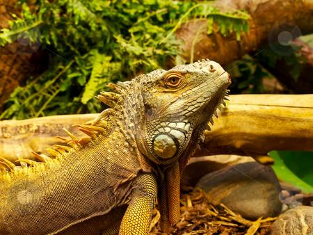 Iguana stock photo, Photo ot the iguana in terrarium with plants by Sergej Razvodovskij