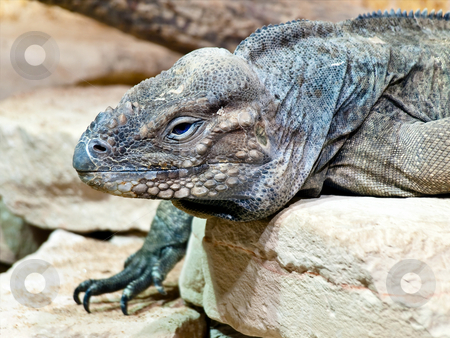 Iguana stock photo, Photo iguana at beige stones by Sergej Razvodovskij