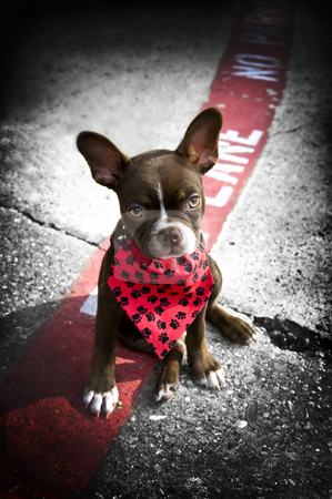 Image of a cute puppy with red bandana stock photo, Image of a cute puppy wearing a red bandana sitting on a fire lane by Greg Blomberg
