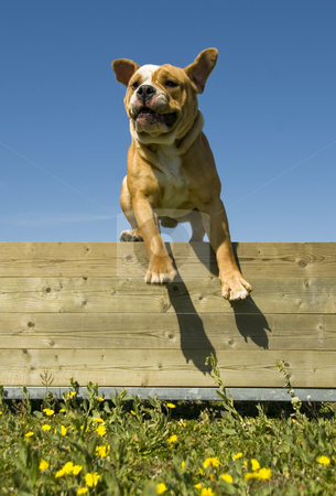 Jumping english bulldog stock photo, Training in Agility of a purebred english bulldog by Bonzami Emmanuelle