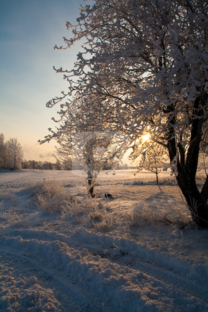 Snowy Tree stock photo,  by Tijs Zwinkels