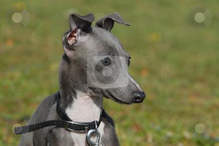 Italian Greyhound Puppies on Puppy Italian Greyhound Stock Photo  Portrait Of A Grey Puppy Purebred