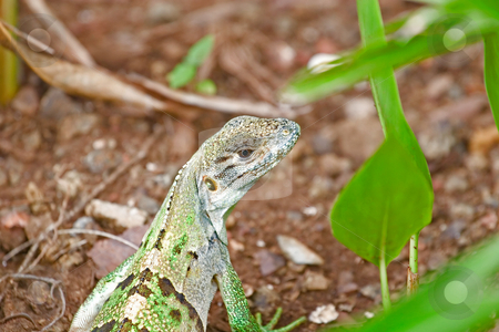 Green Iguana Looking Back stock photo, A green iguana in foliage looking back at camera by Darryl Brooks