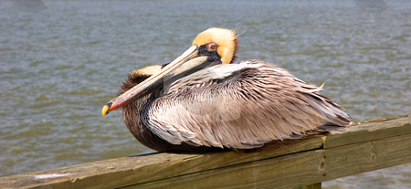 Yellow Head Pelican on Pier stock photo, A pelican with yellow feathers on the head sitting on a pier by Darryl Brooks