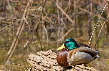 Male Mallard Resting on Log stock photo, A male mallard duck resting on a log in a wetland marsh by Darryl Brooks