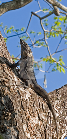 Iguana in Tree Looking Up stock photo, An iguana climbing a tree and looking up by Darryl Brooks