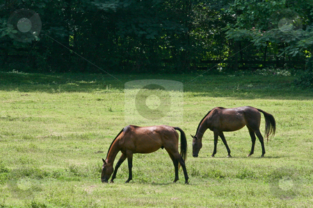 Two Horses Eating Grass stock photo, Two horses in a green pasture grazing on the grass by Darryl Brooks