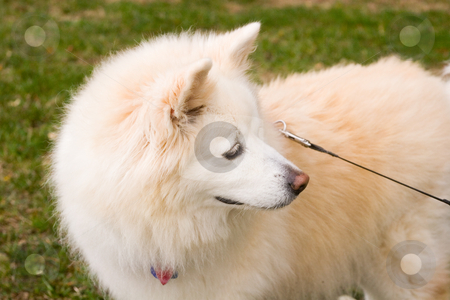 Alaskan Dog stock photo, White mixed breed Alaskan dog on a leash by Darryl Brooks