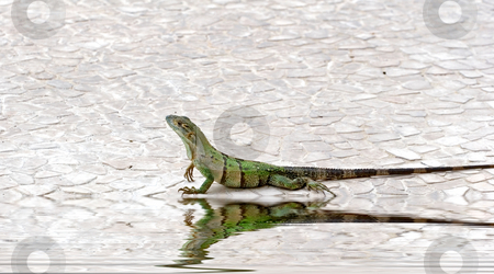 Iguana on Edge of Pool stock photo, A green iguana crawling along the edge of a pool by Darryl Brooks