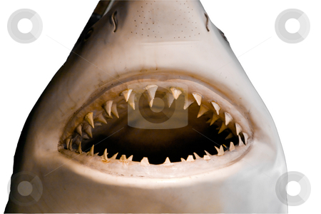 White Shark stock photo, Mouth and teeth of a great white shark by Darryl Brooks