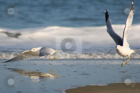Two Gulls in flight stock photo, Two Seagulls in flight over the crashing surf by Darryl Brooks