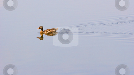 Duck on Mirror Lake stock photo, A duck swimming across a lake with a mirror surface by Darryl Brooks