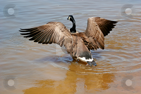 Landing Goose stock photo, A canadian goose landing in a lake by Darryl Brooks