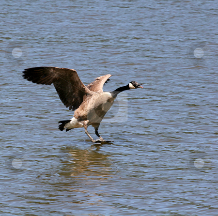 Stand Up landing stock photo, A canadian goose just before landing in a lake by Darryl Brooks