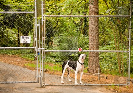 Beware of Dog stock photo, Beware of Dog sign on a fence and gate with a pit bull behind it by Darryl Brooks