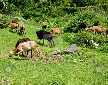 Sheared Sheep stock photo, Sheared Sheep on a tropical hillside by Darryl Brooks