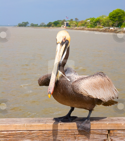 Pelican About to Fly stock photo, A colorful pelican poised to fly from the pier by Darryl Brooks