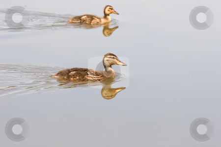 Baby Ducks stock photo, A pair of baby ducks swimming in the lake by Darryl Brooks