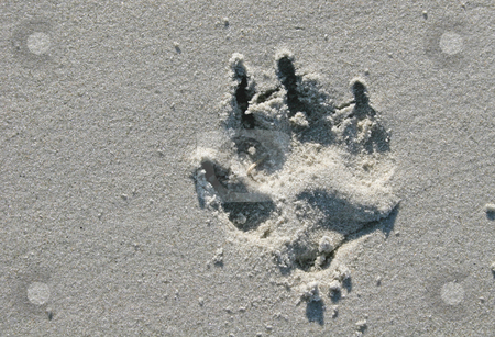Dog Print stock photo, Imprint of large dog print in beach sand by Darryl Brooks