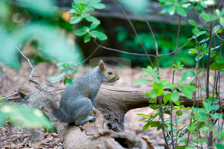 Grey Squirrel on Log stock photo, A grey squirrel resting on a log in the woods by Darryl Brooks