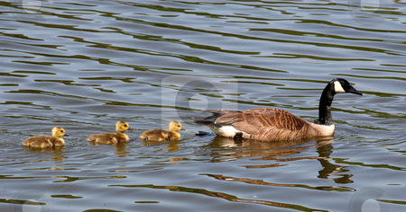 Mother and Three Babies stock photo, A mother goose and three baby geese swimming in lake by Darryl Brooks