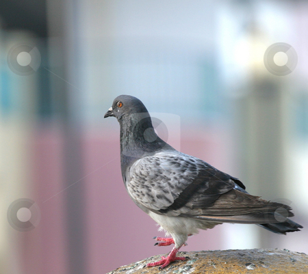 Pigeon Looking stock photo, Close up of a pigeon on a bright yellow post by Darryl Brooks