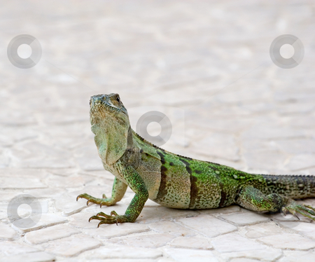 Iguana Looking at Camera stock photo, An green iguana on tile looking at the camera by Darryl Brooks