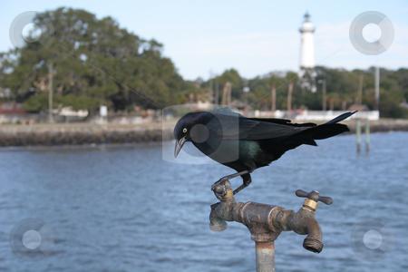 Blackbird on a spigot stock photo, A blackbird resting on a water spigot at seaside waiting on water by Darryl Brooks