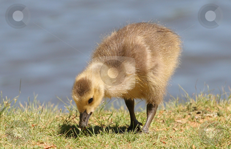 Baby Duckling stock photo, A baby duck eating on the edge of a lake by Darryl Brooks