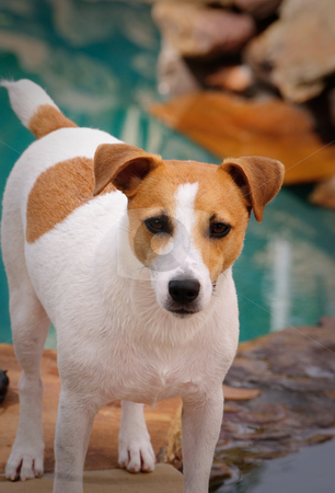 Pool Dog stock photo, Jack Russell dog standing proud near swimming pool. by Tammy Abrego