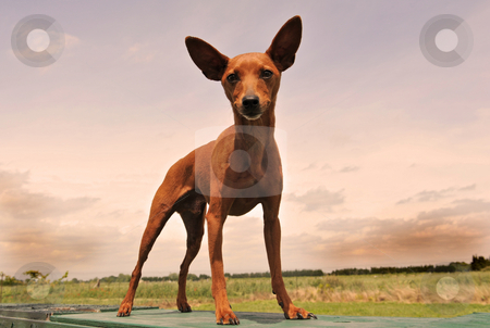 Miniature pinscher stock photo, Portrait on a purebred miniature pinscher on a pink sky by Bonzami Emmanuelle