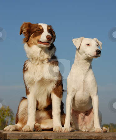 Two friends stock photo, Portrait of a  purebred jack russel terrier and a puppy australian shepherd by Bonzami Emmanuelle